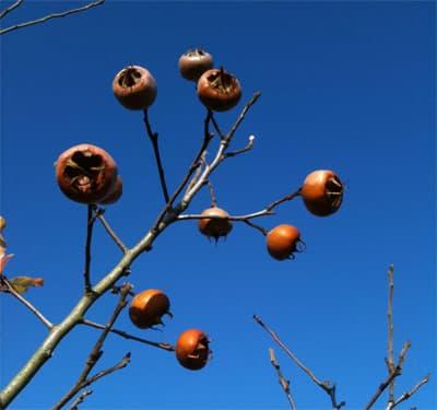 плодове на мушмула