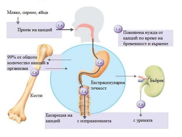 метаболизъм на калция