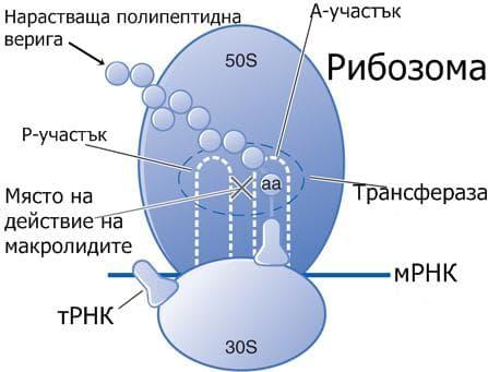 Място на действие на макролидите
