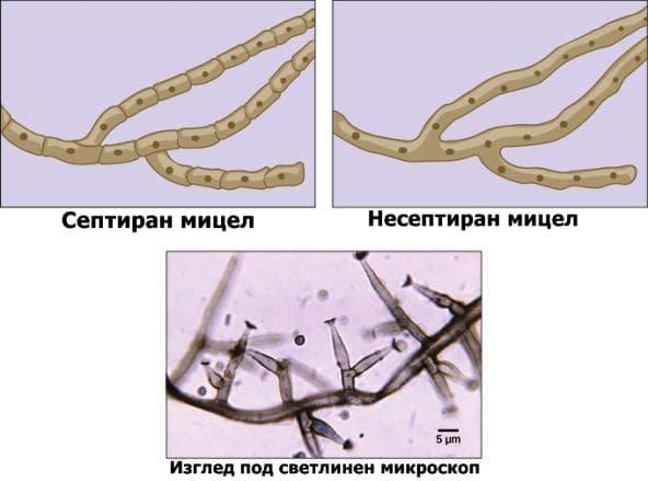 Видове мицел
