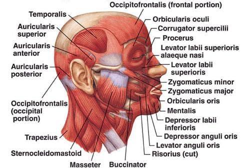 мускули на главата