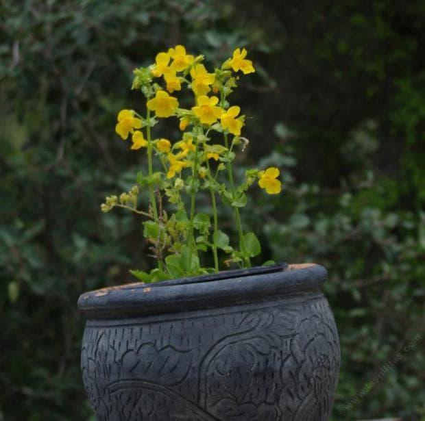 маймунско цвете жълто