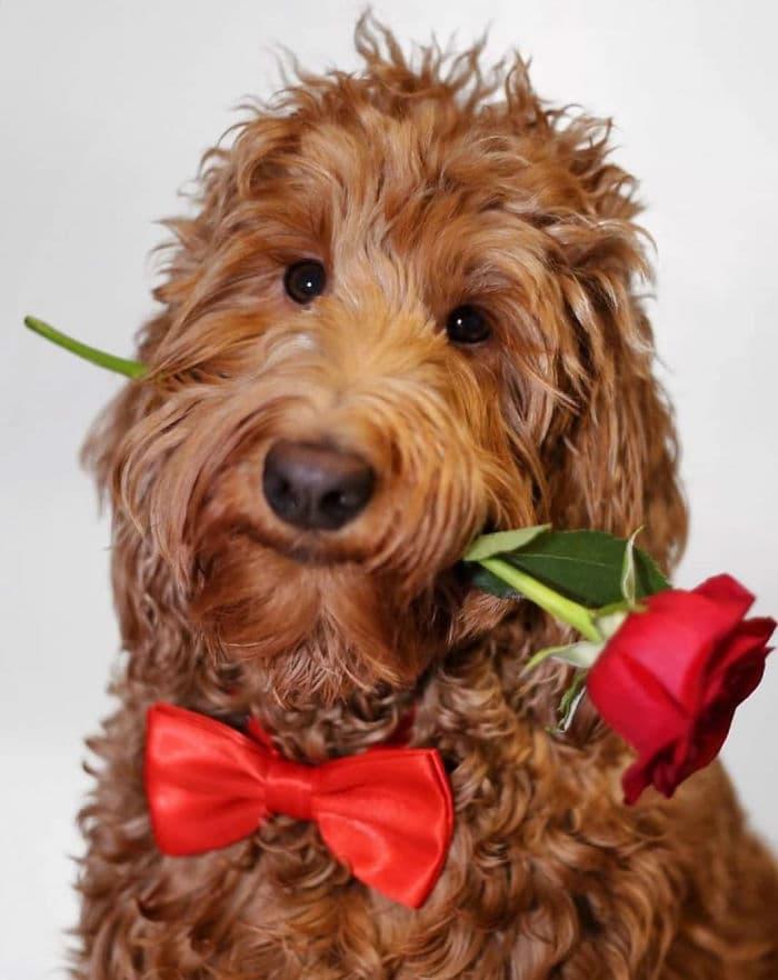 куче с папийонка