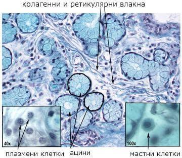 морфология на съединителна тъкан