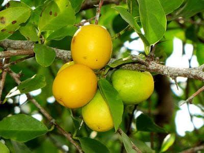 морски лимон