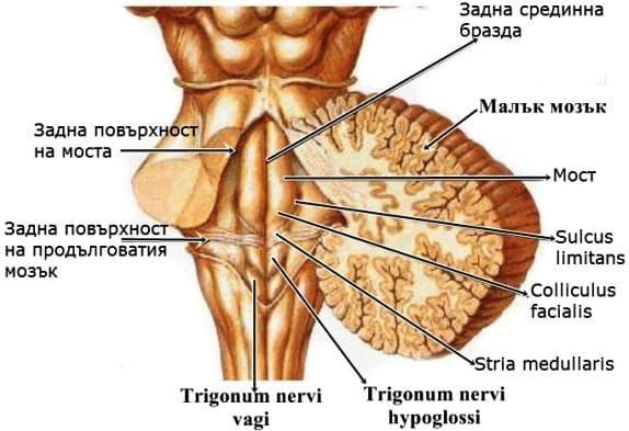 Мозъчен ствол заден изглед