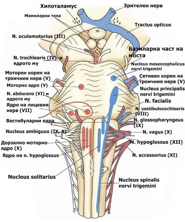 Краниални нерви и техните ядра