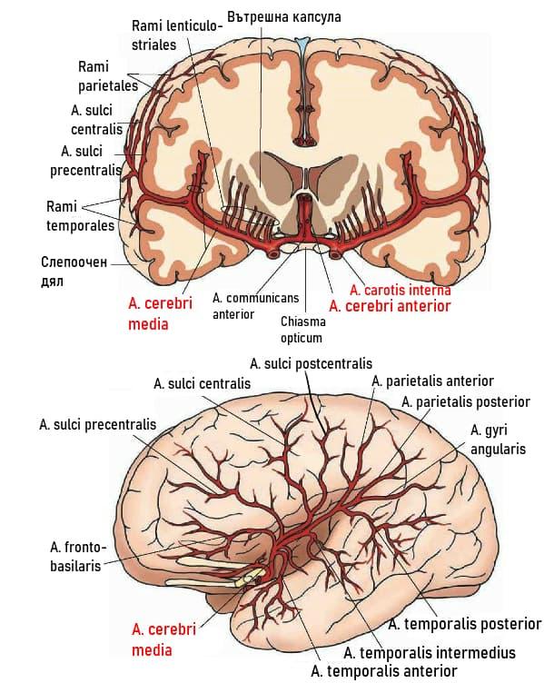 Клонове на мозъчните артерии