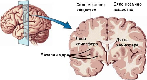 Мозъчни хемисфери