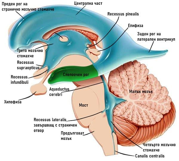 Мозъчни стомахчета строеж