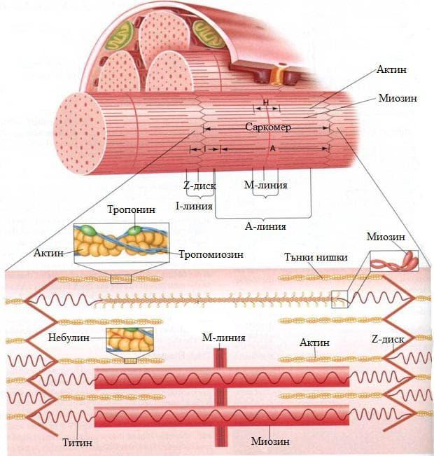 строеж на мускулната клетка