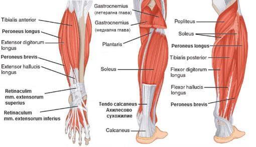 Мускули на подбедрицата