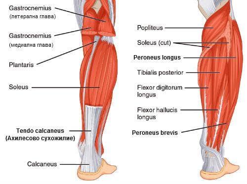 мускули задна група