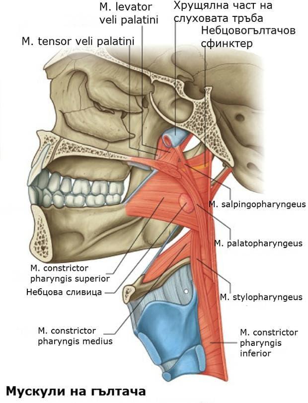 Мускули на гълтача