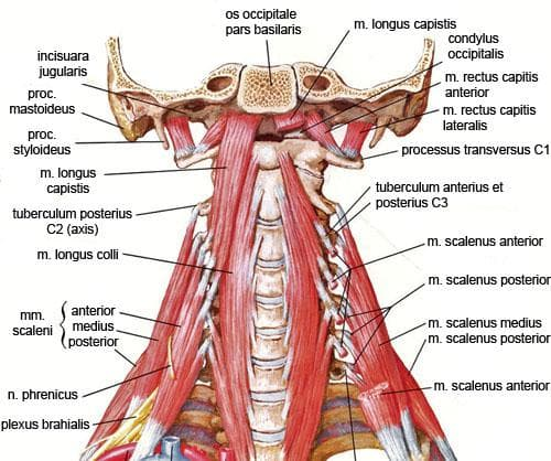 дълбоки мускули на шията