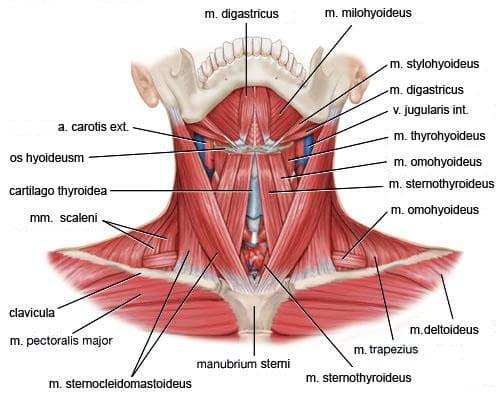 подезични мускули на шията