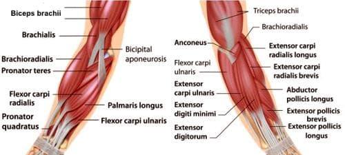 мускули на предмипницата