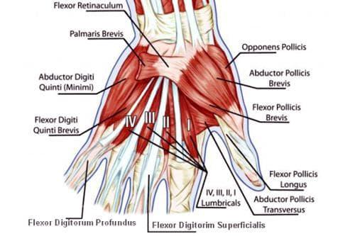 мускули на ръката