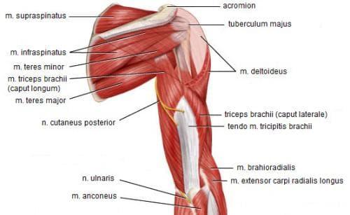 мускули на рамото