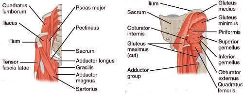мускули около тазобедрената става