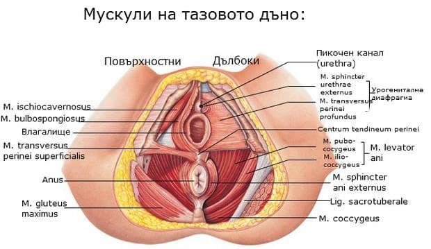 Повърхностни и дълбоки мускули на тазовото дъно
