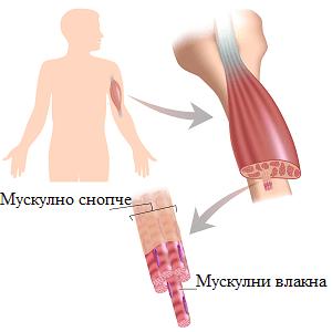 мускулно влакно