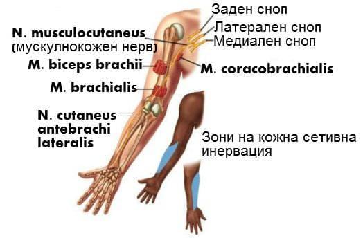 Мускулнокожен нерв