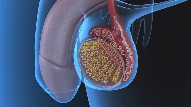 мъжка репродуктивна система