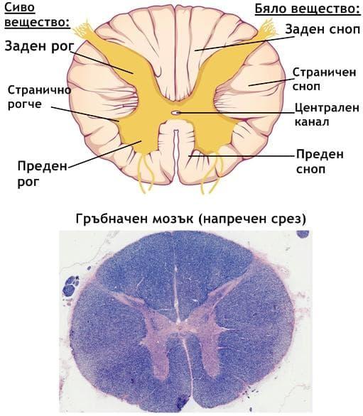 Напречен срез на гръбначния мозък