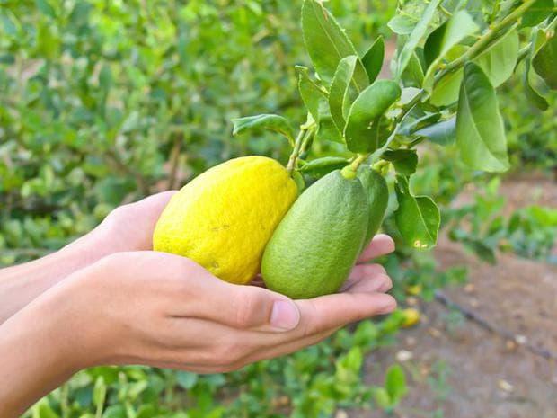 лайм и обикновен лимон