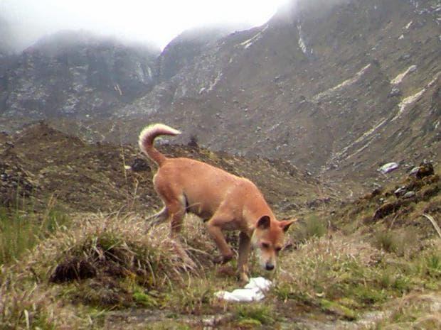 Новогвинейско диво куче