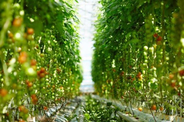 За най-добри резултати не поливайте доматите често, а изобилно.