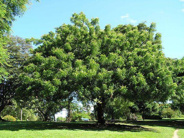 дърво нийм