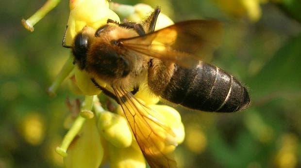 Хималайска пчела