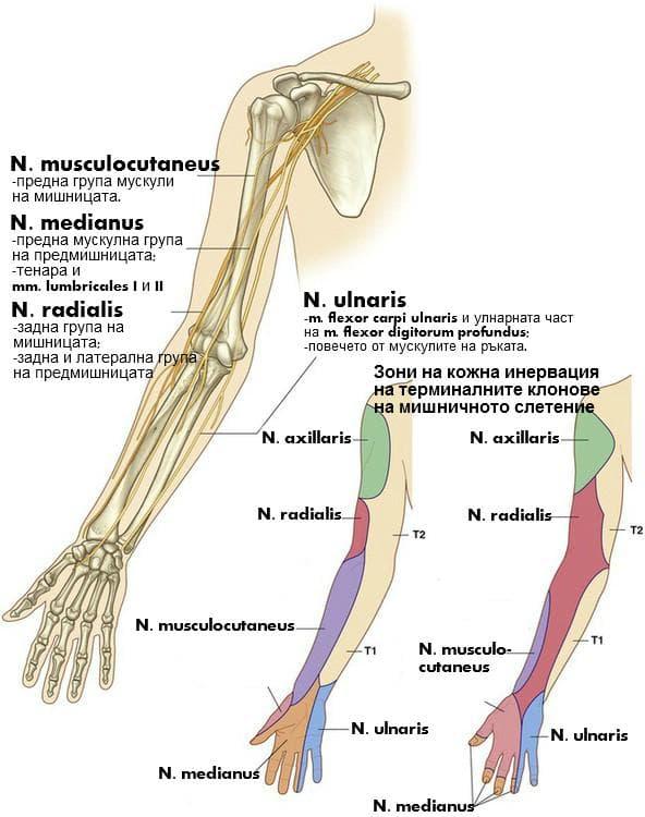 Терминални нервни клонове на мишничното слетение