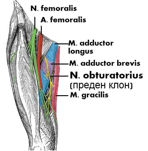 Обтураторен нерв