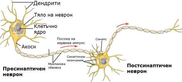 Нервна клетка