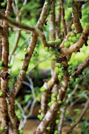 зелени плодове на джаботикаба