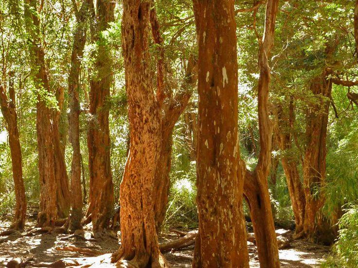 канелени дървета