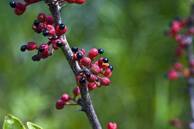 американски зантоксилум плодове