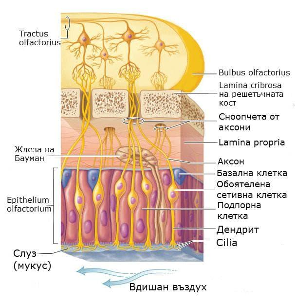 Устройство на обонятелна лигавица
