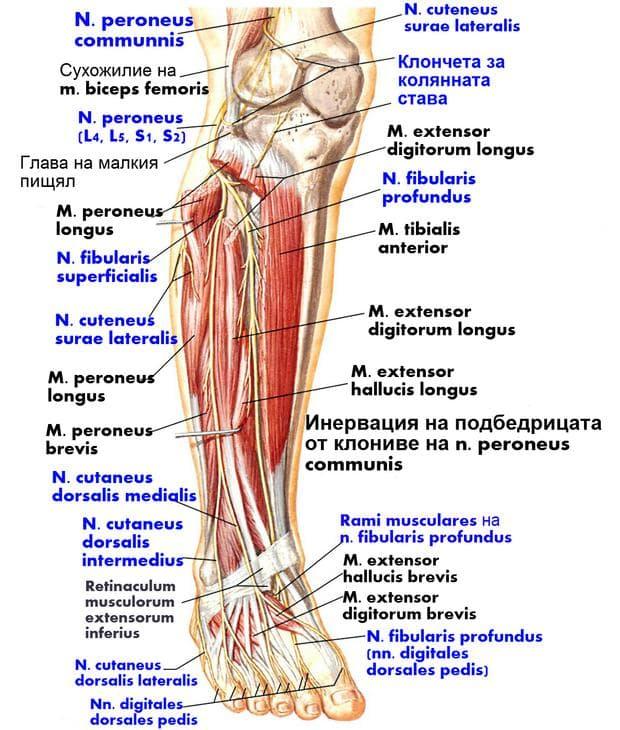 Общ перонеален нерв