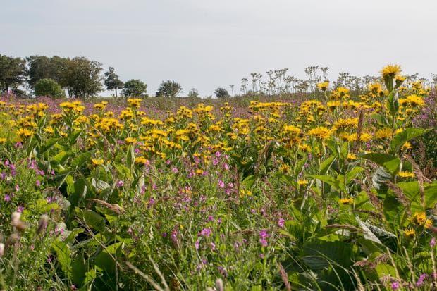 поле с оман и други билки