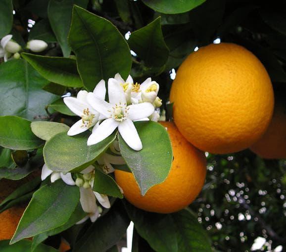 плодове и цвят на мандарина