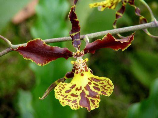 орхидея птица
