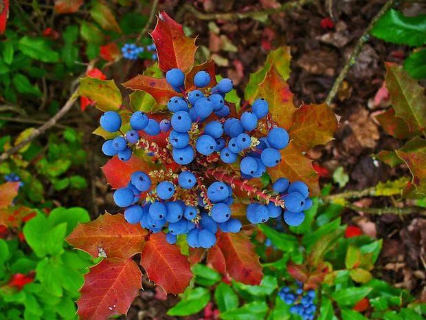 есенно орегонско грозде
