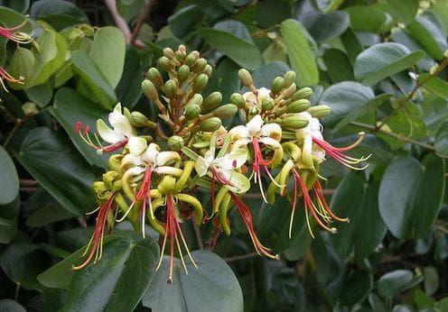 вид орхидеено дърво