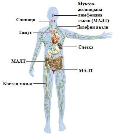 органи на имунната система