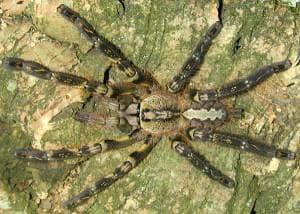 Индийска орнаментна тарантула