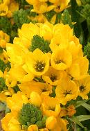жълт орнитогалум
